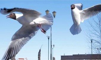 ВЧереповце чайки «уходят впике»