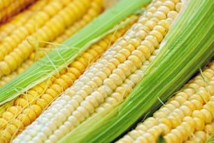 НаВологодчине вновь начнут выращивать кукурузу